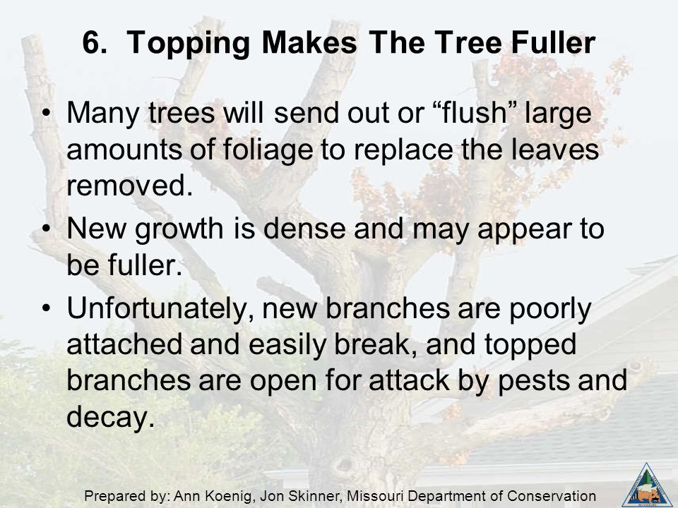 """Prepared by: Ann Koenig, Jon Skinner, Missouri Department of Conservation 6. Topping Makes The Tree Fuller Many trees will send out or """"flush"""" large a"""