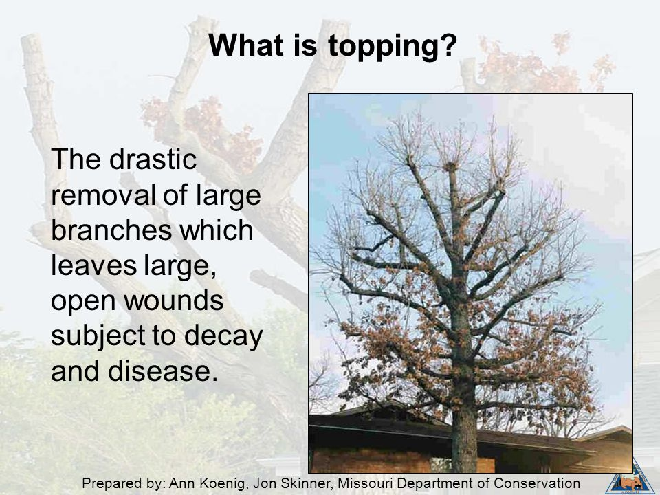 Prepared by: Ann Koenig, Jon Skinner, Missouri Department of Conservation The drastic removal of large branches which leaves large, open wounds subjec
