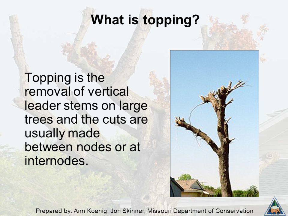 Prepared by: Ann Koenig, Jon Skinner, Missouri Department of Conservation Topping is the removal of vertical leader stems on large trees and the cuts