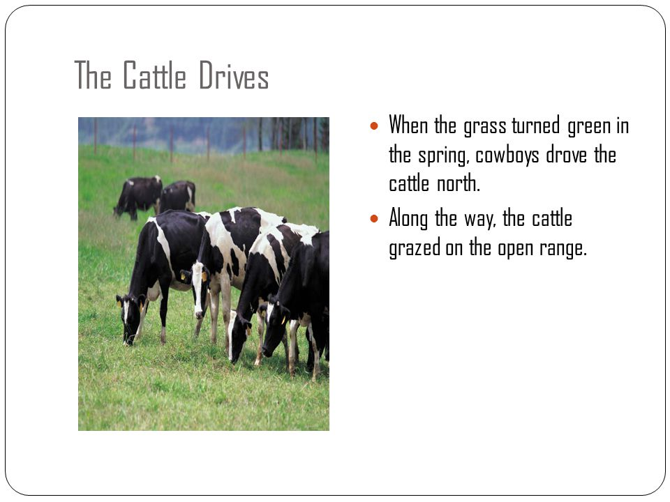 The Cattle Drives When the grass turned green in the spring, cowboys drove the cattle north. Along the way, the cattle grazed on the open range.