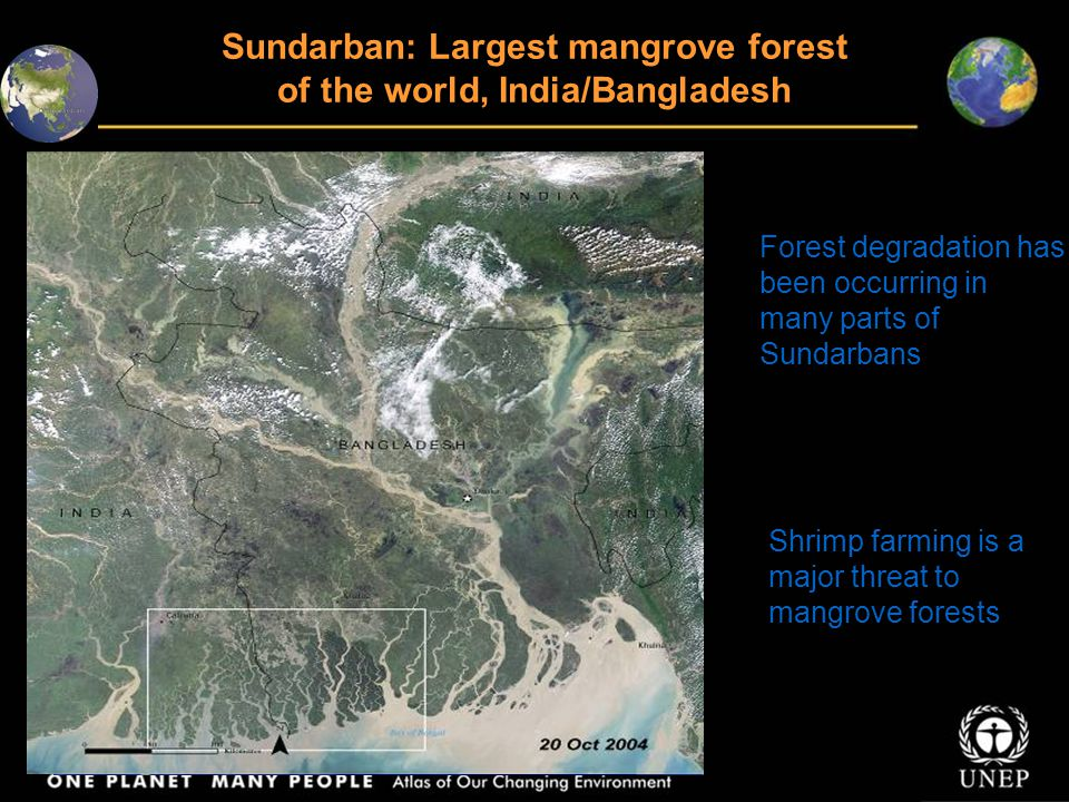 Sundarban: Largest mangrove forest of the world, India/Bangladesh Forest degradation has been occurring in many parts of Sundarbans Shrimp farming is a major threat to mangrove forests