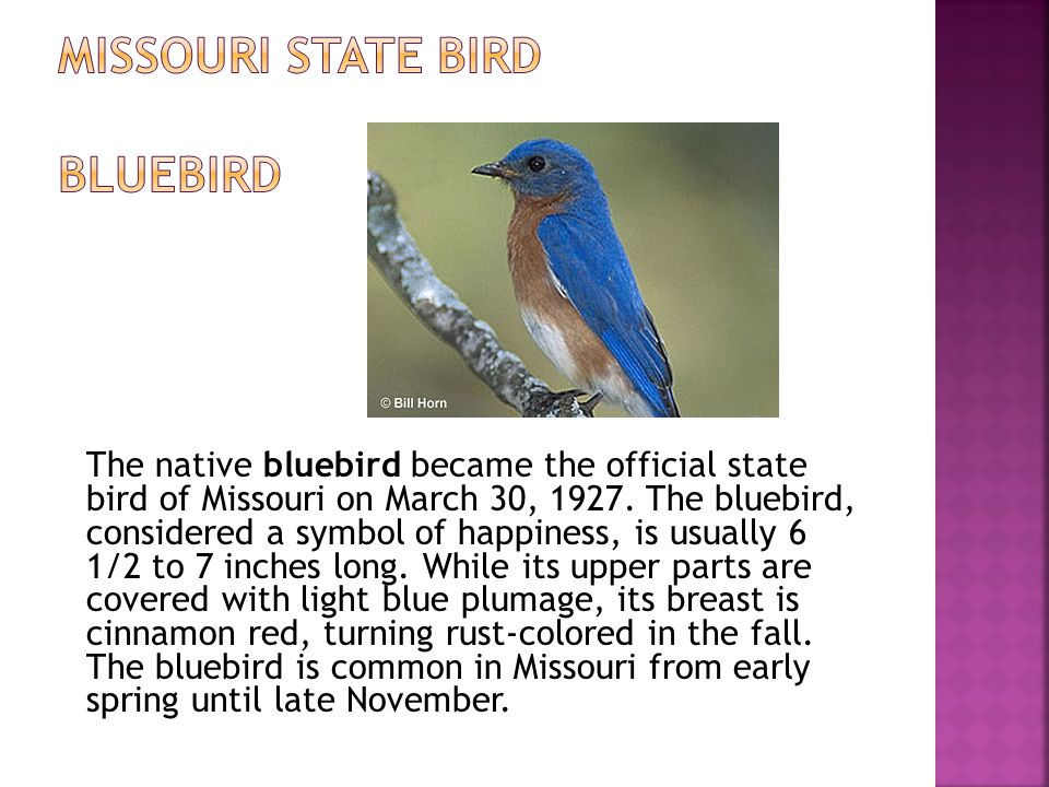 The native bluebird became the official state bird of Missouri on March 30, 1927.