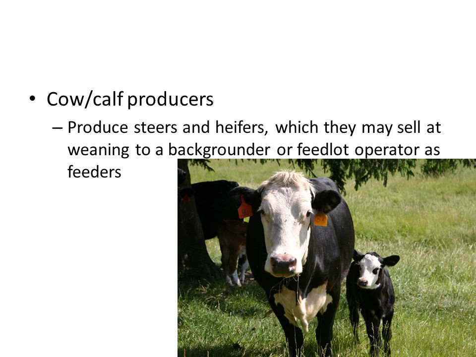 Cow/calf producers – Produce steers and heifers, which they may sell at weaning to a backgrounder or feedlot operator as feeders