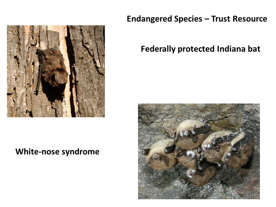 Federally protected Indiana bat White-nose syndrome Endangered Species – Trust Resource