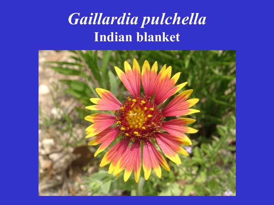 Gaillardia pulchella Indian blanket