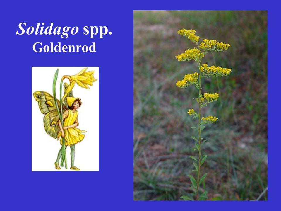 Solidago spp. Goldenrod