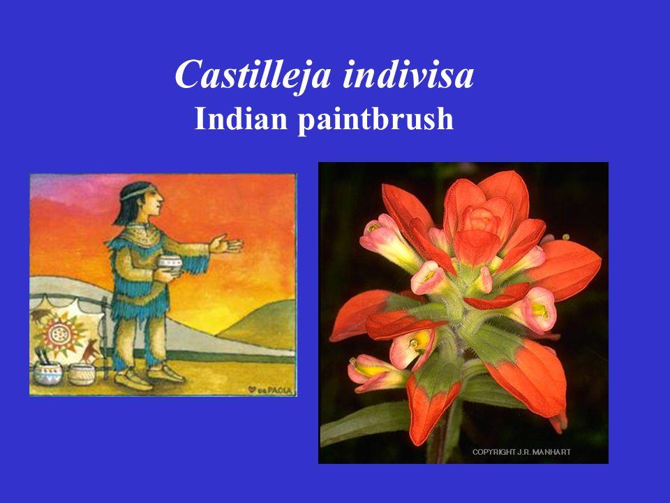 Castilleja indivisa Indian paintbrush