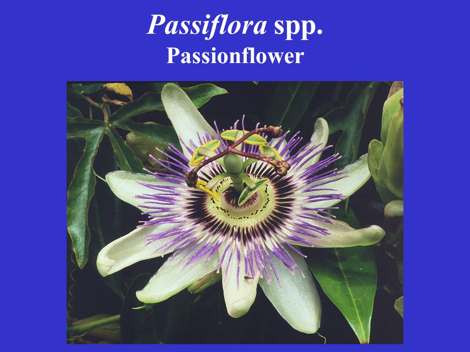 Passiflora spp. Passionflower