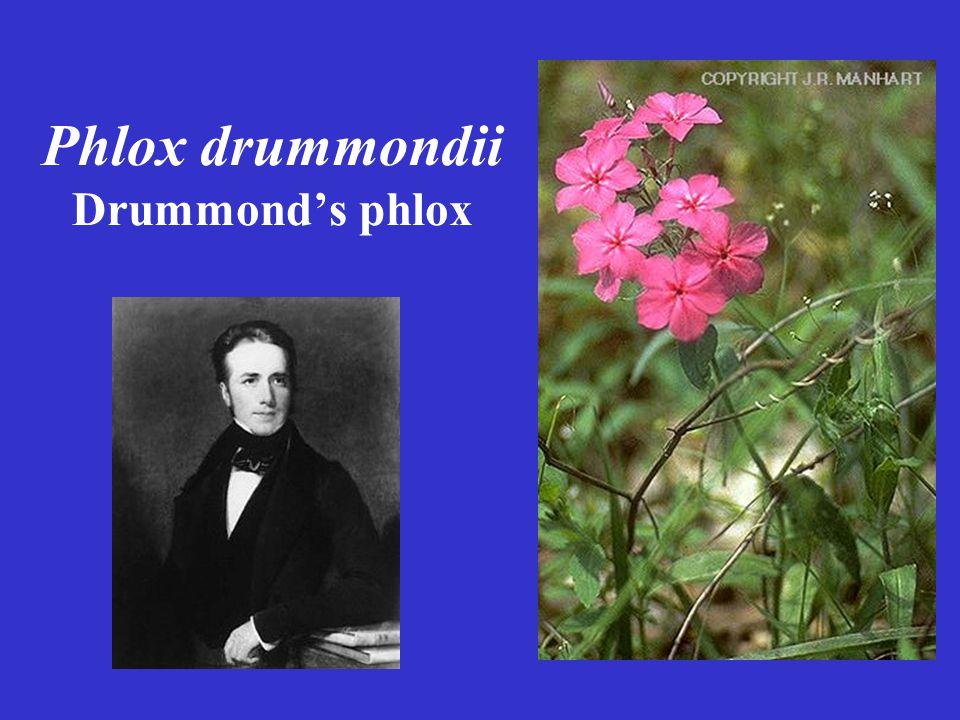 Phlox drummondii Drummond's phlox