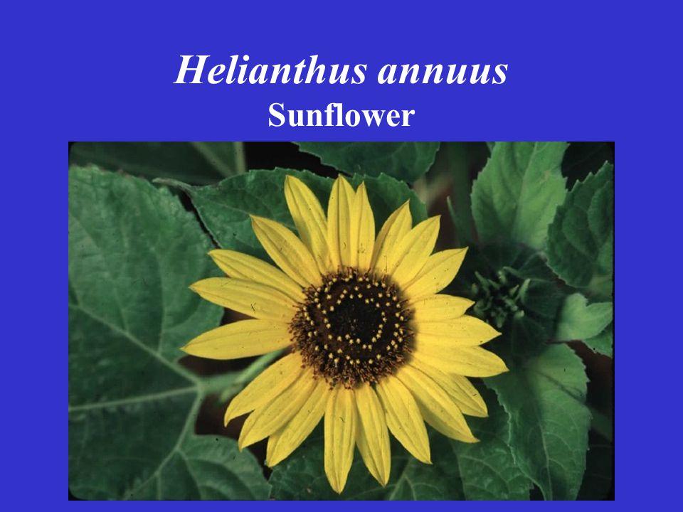 Helianthus annuus Sunflower