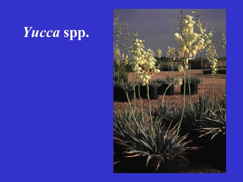 Yucca spp.