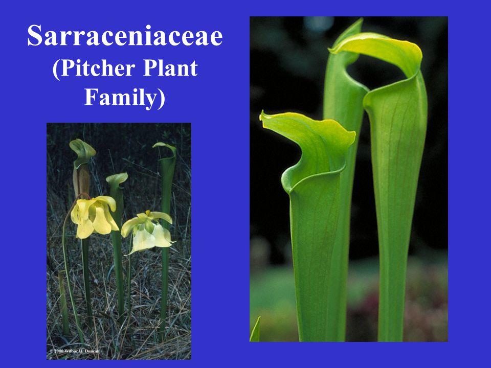 Sarraceniaceae (Pitcher Plant Family)