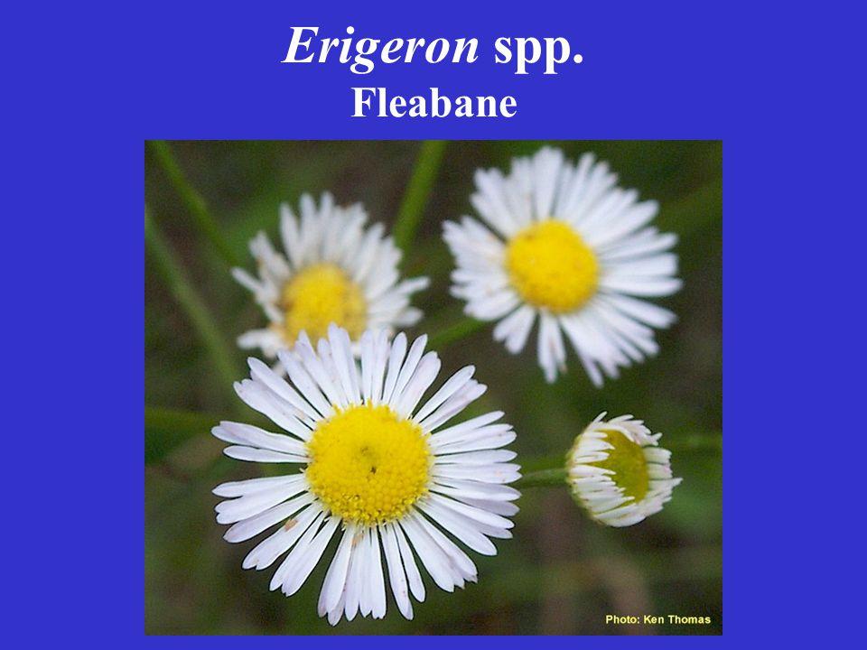 Erigeron spp. Fleabane