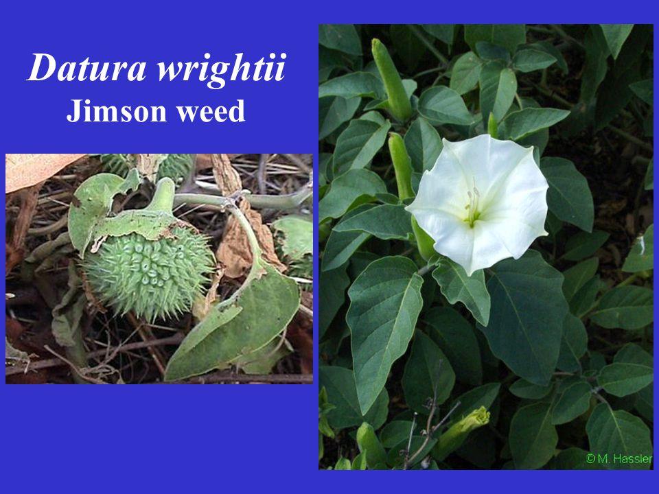 Datura wrightii Jimson weed