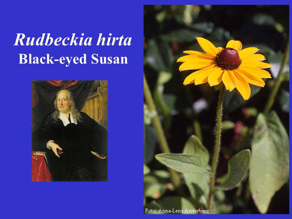 Rudbeckia hirta Black-eyed Susan