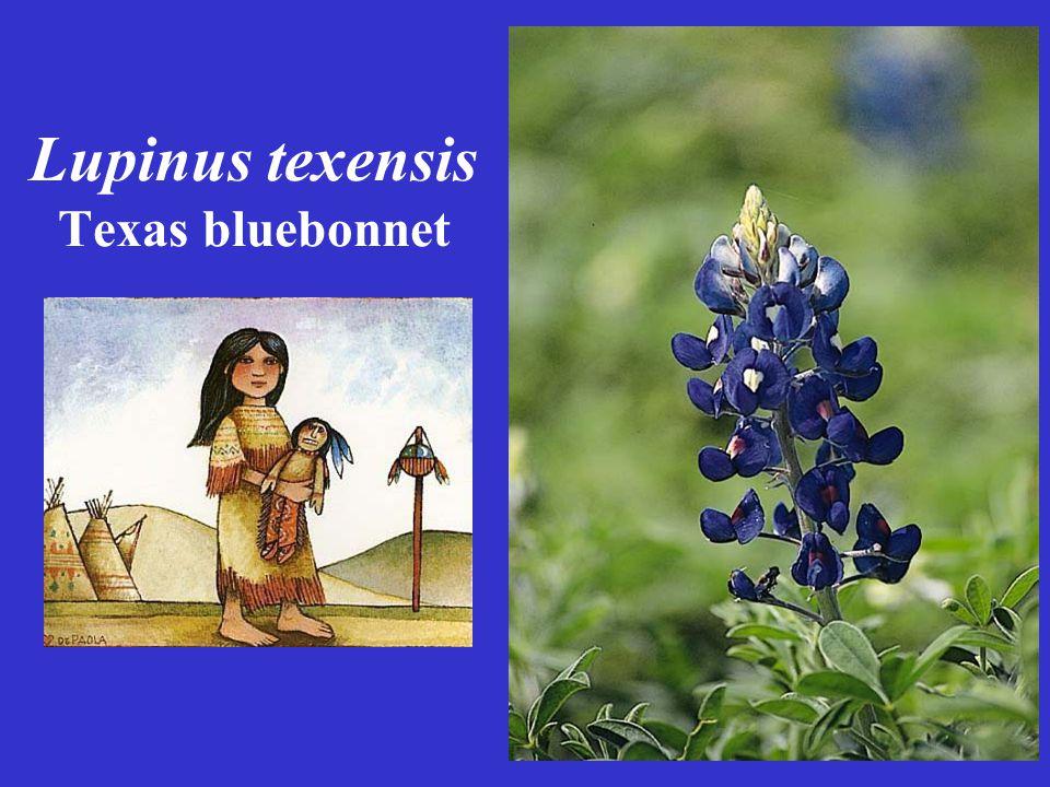 Lupinus texensis Texas bluebonnet