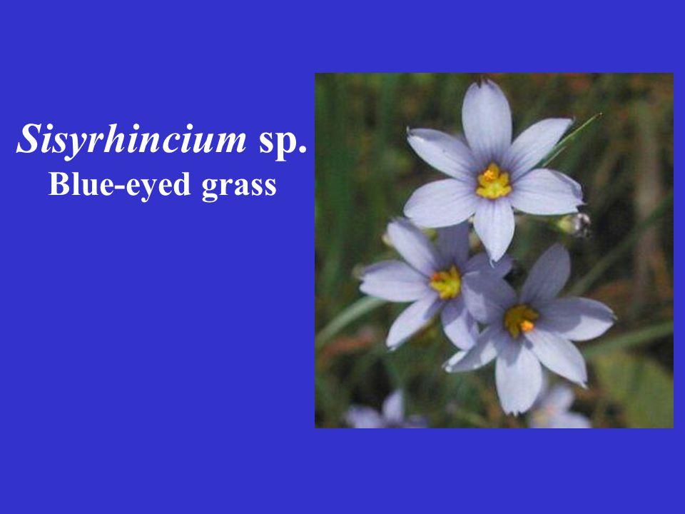 Sisyrhincium sp. Blue-eyed grass
