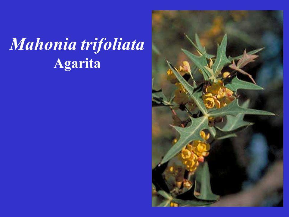 Mahonia trifoliata Agarita