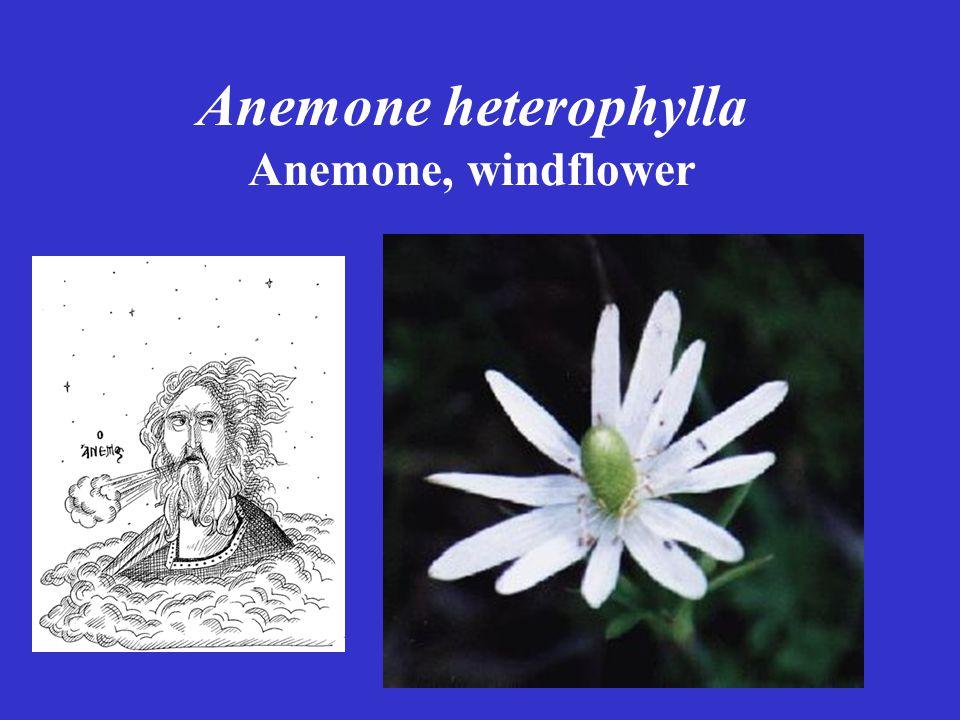 Anemone heterophylla Anemone, windflower