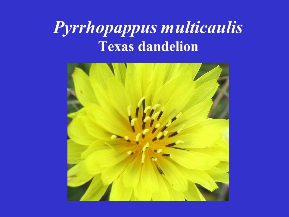 Pyrrhopappus multicaulis Texas dandelion