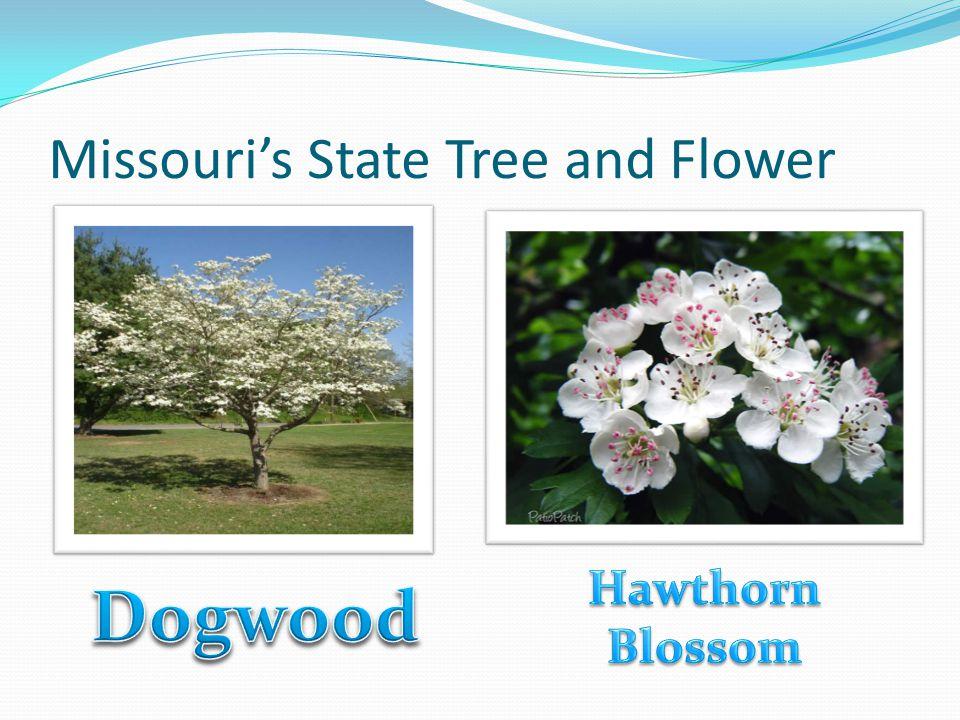 Missouri's State Tree and Flower