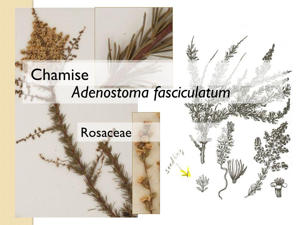 Adenostoma fasciculatum Chamise Rosaceae