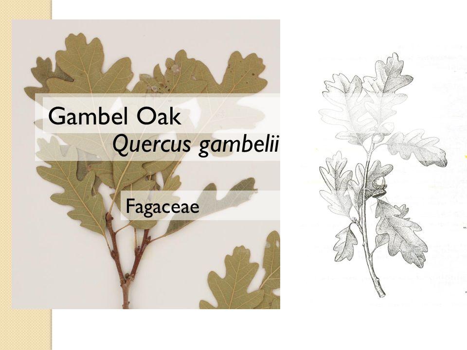 Quercus gambelii Gambel Oak Fagaceae