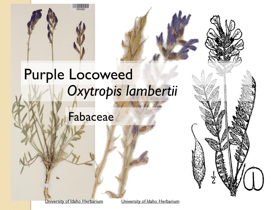 University of Idaho Herbarium Oxytropis lambertii Fabaceae Purple Locoweed