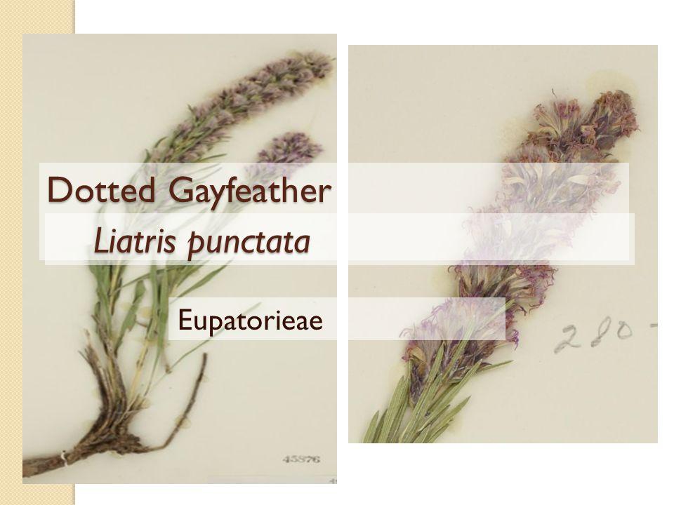 Dotted Gayfeather Liatris punctata Liatris punctata Eupatorieae