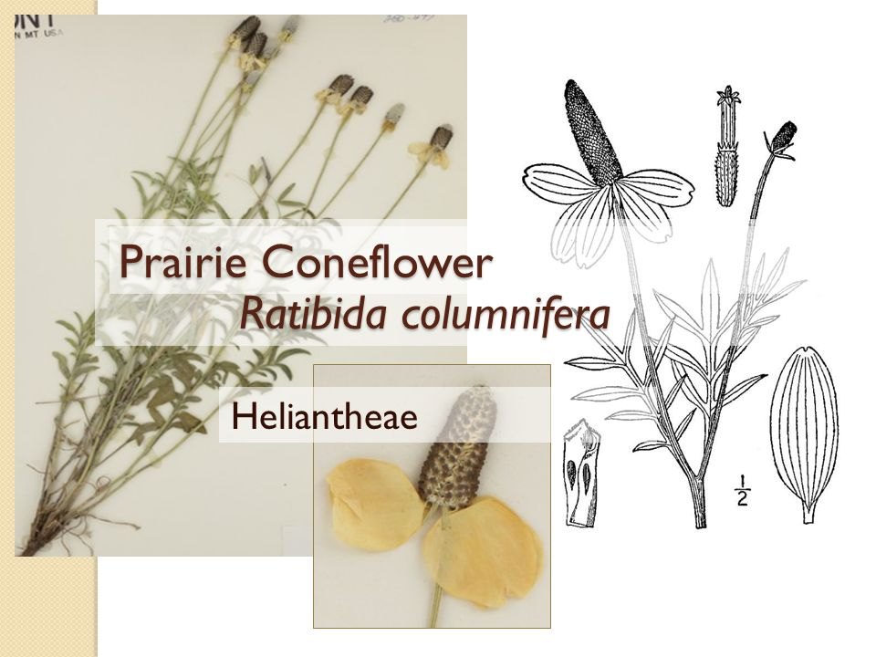 Ratibida columnifera Ratibida columnifera Prairie Coneflower Heliantheae