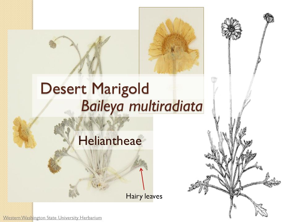 Western Washington State University Herbarium Hairy leaves Baileya multiradiata Baileya multiradiata Heliantheae Desert Marigold