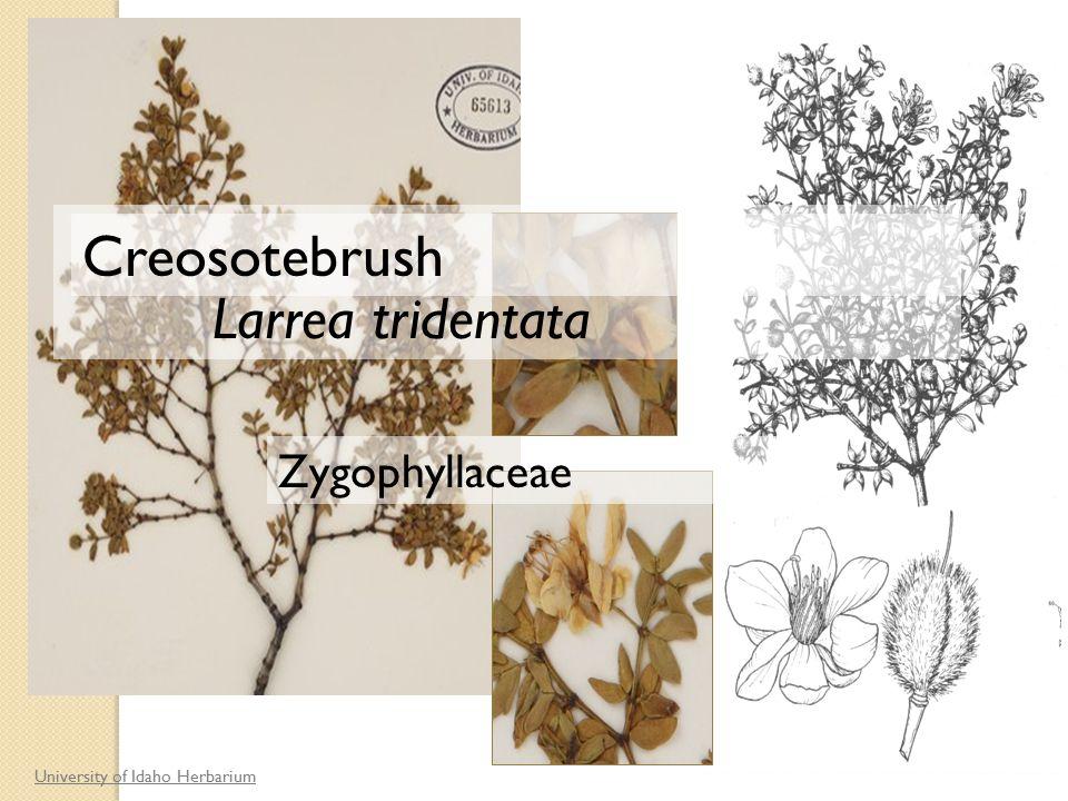 University of Idaho Herbarium Larrea tridentata Zygophyllaceae Creosotebrush