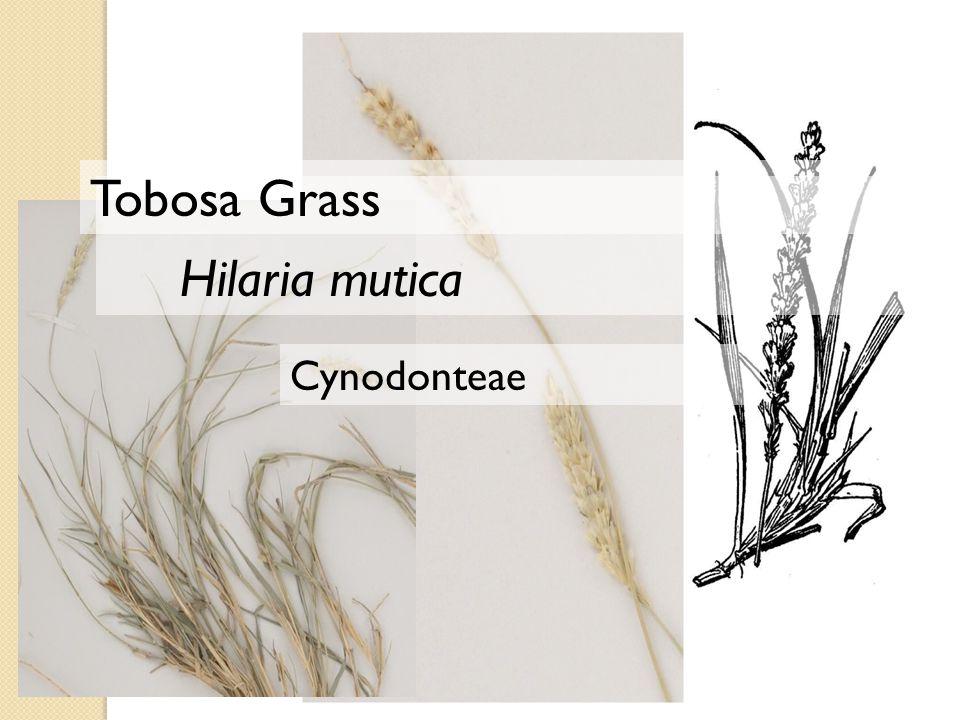 Cynodonteae Hilaria mutica Tobosa Grass