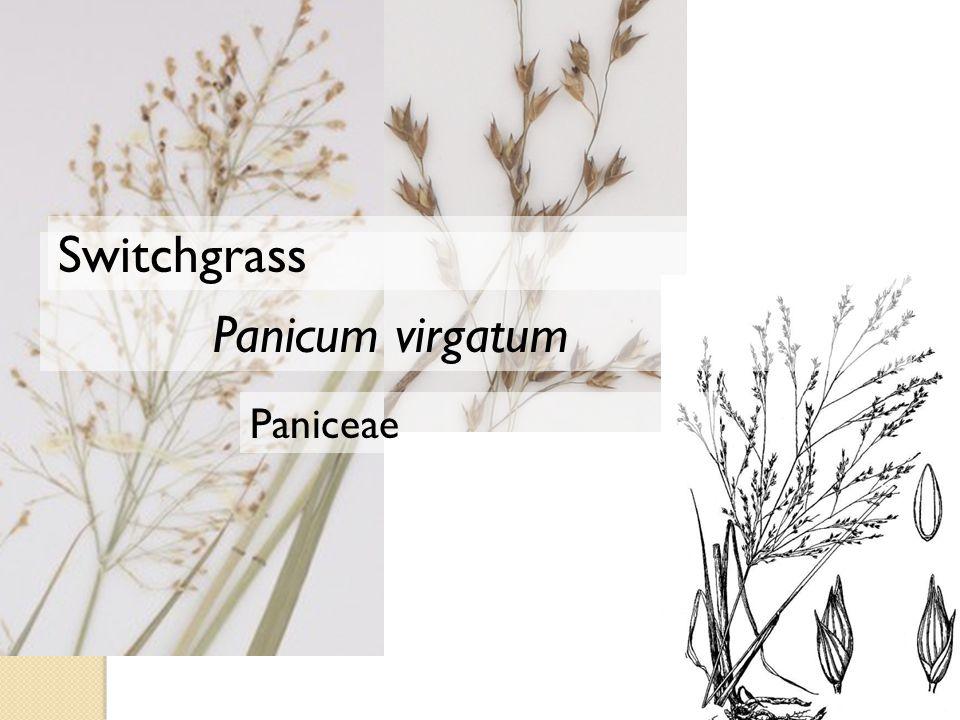Paniceae Panicum virgatum Switchgrass