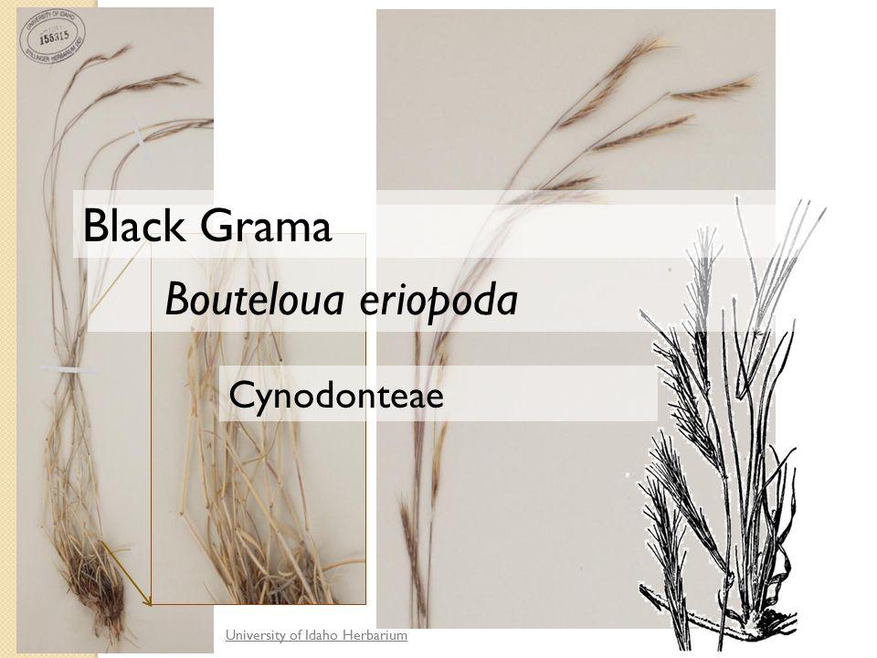University of Idaho Herbarium Cynodonteae Bouteloua eriopoda Black Grama