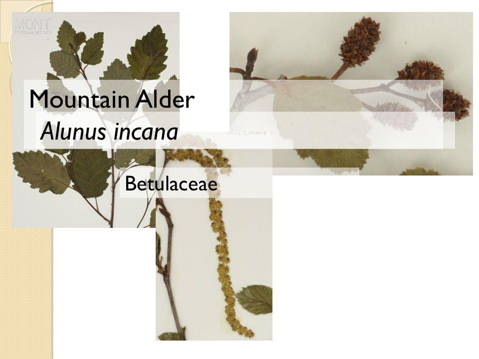 Mountain Alder Alunus incana Betulaceae