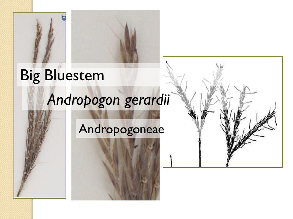 Andropogoneae Andropogon gerardii Big Bluestem