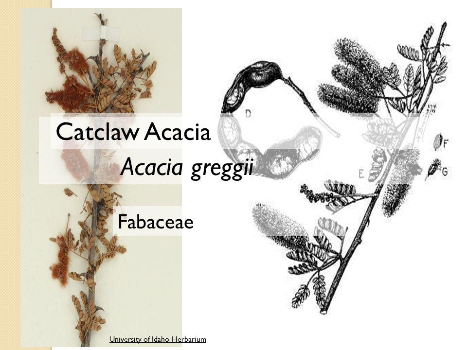 University of Idaho Herbarium Acacia greggii Fabaceae Catclaw Acacia