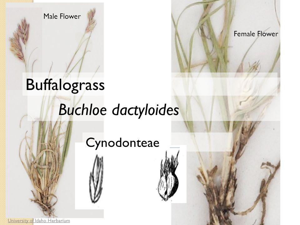 Female Flower University of Idaho Herbarium Male Flower Cynodonteae Buchloe dactyloides Buffalograss