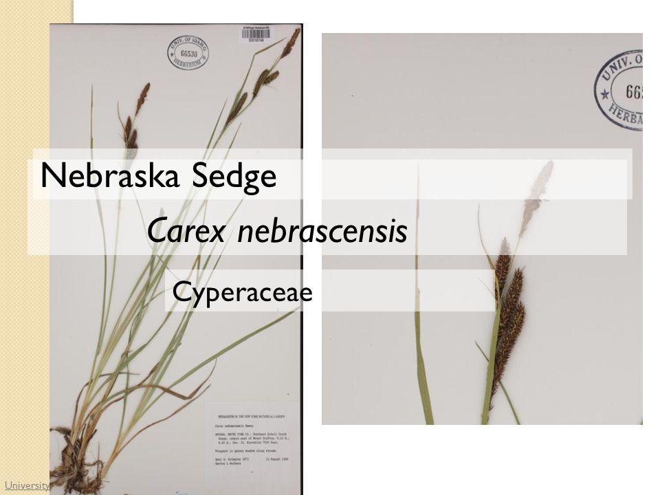 University of Idaho Herbarium Cyperaceae Carex nebrascensis Nebraska Sedge