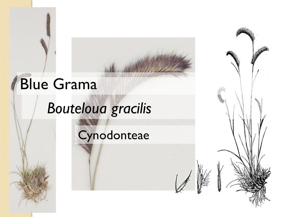 Cynodonteae Bouteloua gracilis Blue Grama