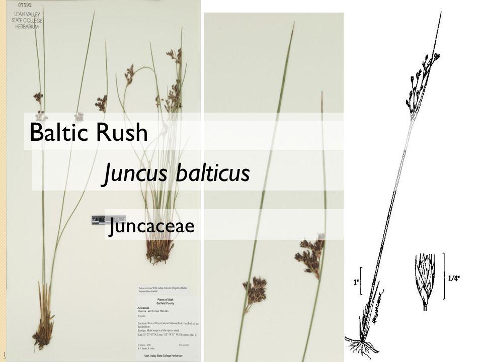 University of Idaho Herbarium Juncaceae Juncus balticus Baltic Rush