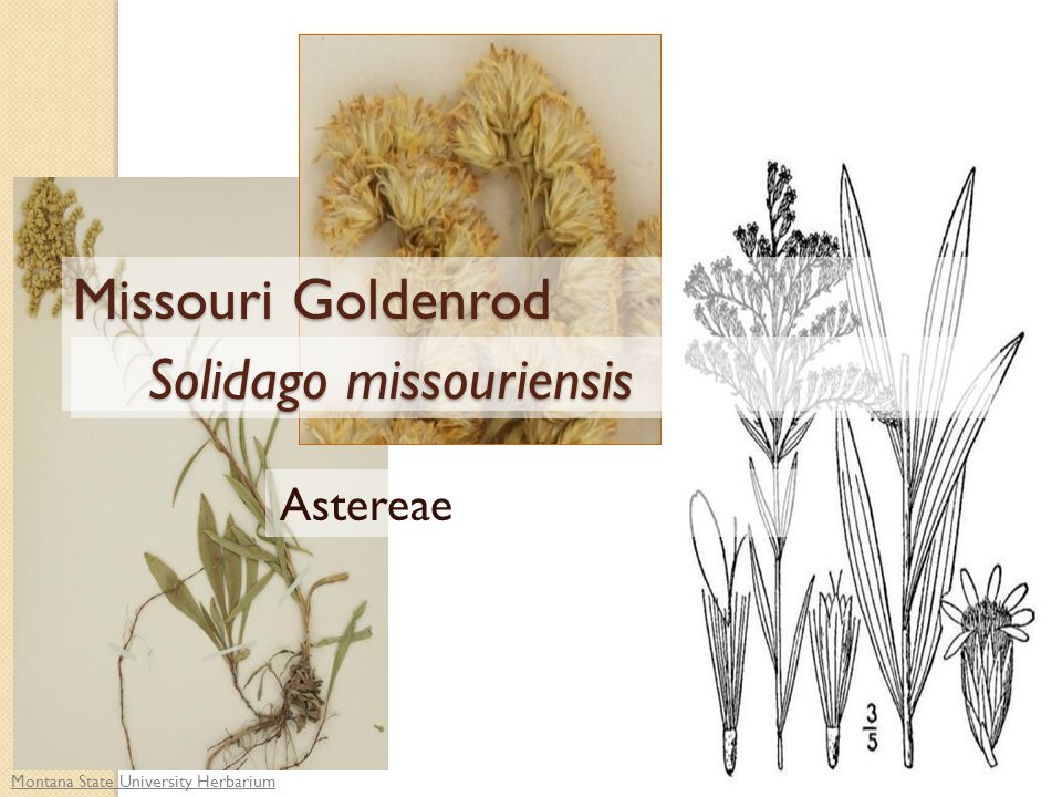 Montana State University Herbarium Astereae Missouri Goldenrod Solidago missouriensis Solidago missouriensis
