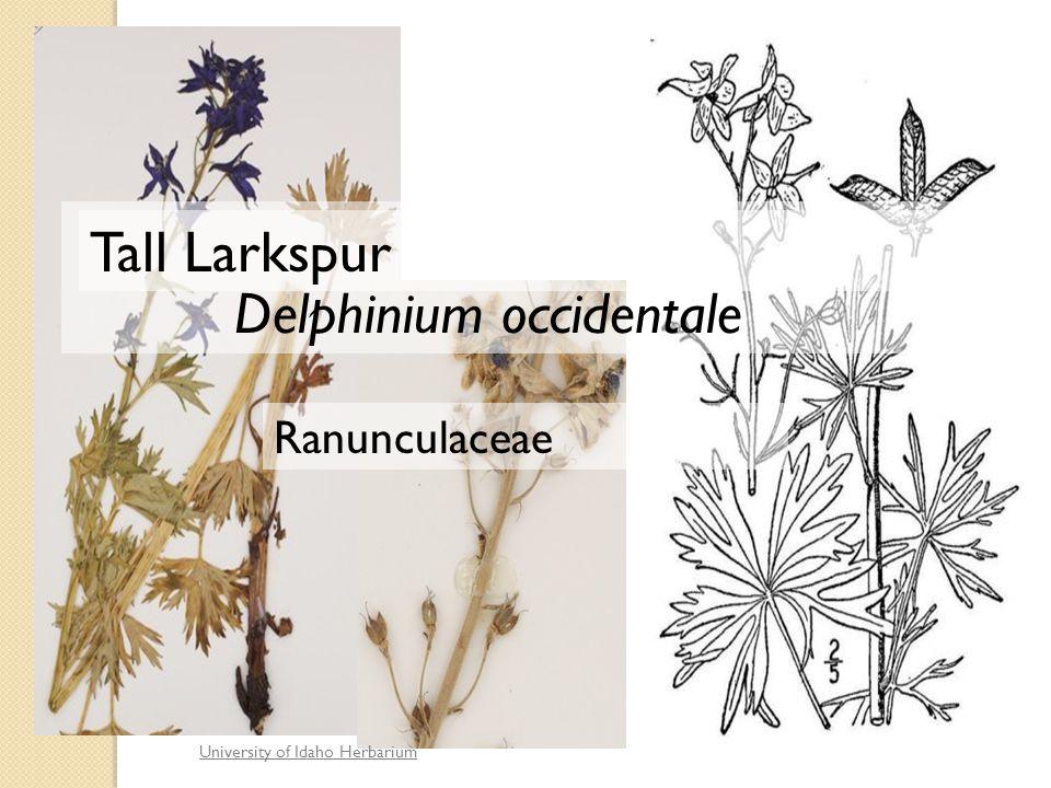University of Idaho Herbarium Delphinium occidentale Ranunculaceae Tall Larkspur