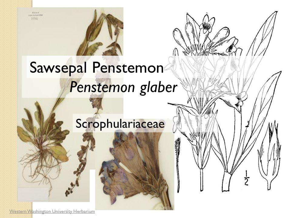 Western Washington University Herbarium Penstemon glaber Scrophulariaceae Sawsepal Penstemon