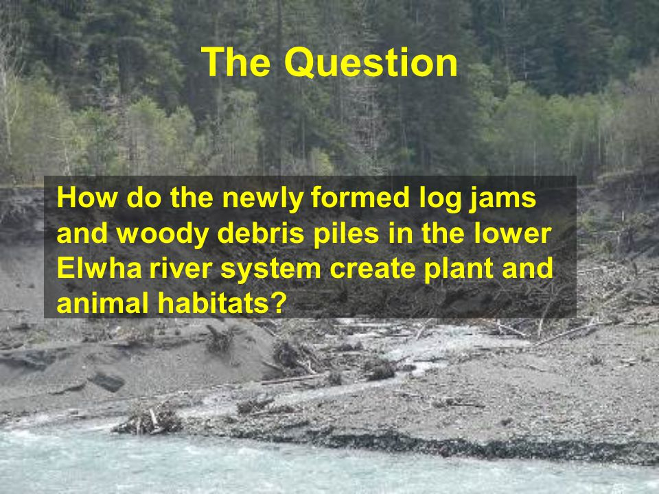 The Question How do the newly formed log jams and woody debris piles in the lower Elwha river system create plant and animal habitats