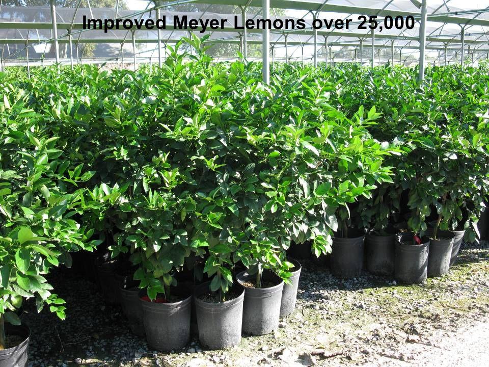Improved Meyer Lemons over 25,000