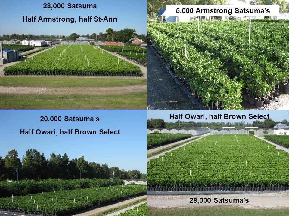 20,000 Satsuma's Half Owari, half Brown Select 28,000 Satsuma Half Armstrong, half St-Ann Half Owari, half Brown Select J 5,000 Armstrong Satsuma's 28,000 Satsuma's