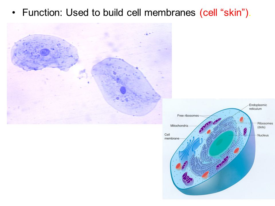 "Function: Used to build cell membranes (cell ""skin"")."