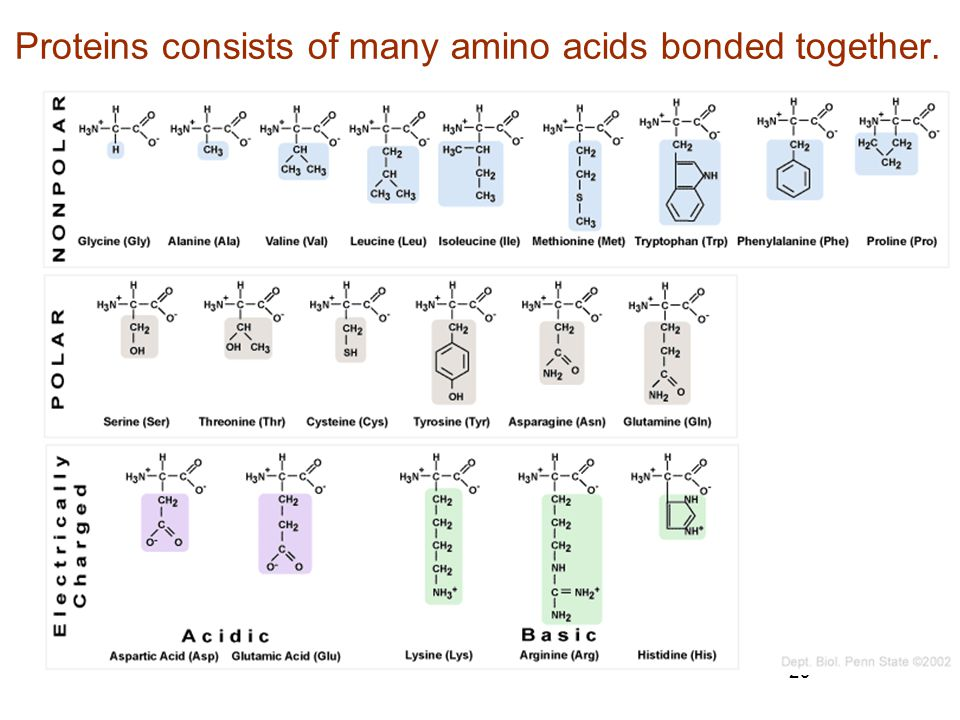 29 Proteins consists of many amino acids bonded together.